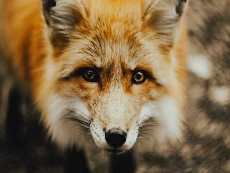 Galeria de fotos reúne imagens de raposas fofas