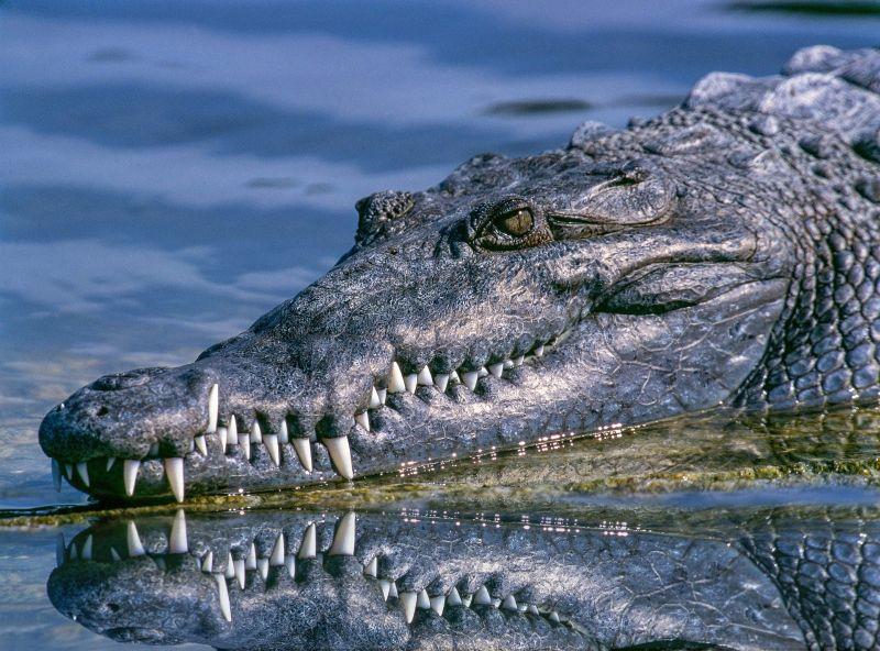 Crocodilos matam, em média, 1 mil humanos por ano | Crédito: Pixabay