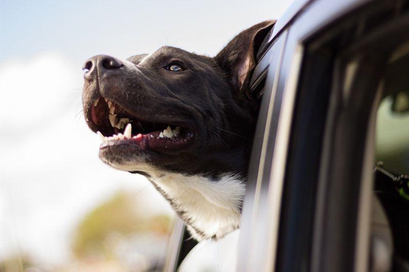 Dicas de como viajar com cachorro ou gato